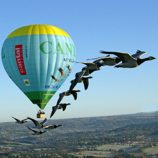 Fly hot air ballon geese